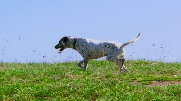 cane cane di razza pura
