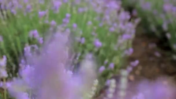 Beautiful lavender field. Beautiful flowering bushes of lavender.