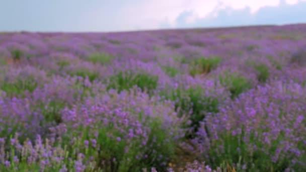nádherné levandulové pole. krásné kvetoucí keře levandule