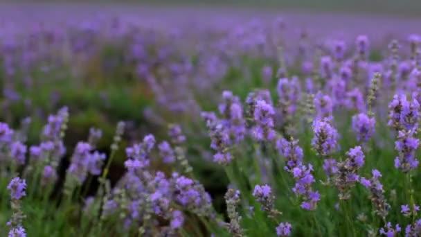 wunderschönes Lavendelfeld. schöne blühende Sträucher von Lavendel.