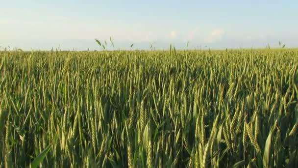 Zelená zemědělská pole pšenice. farma pole na jaře
