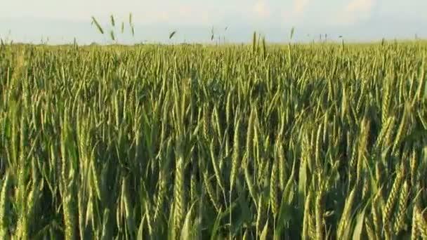 Zelená zemědělská pole pšenice