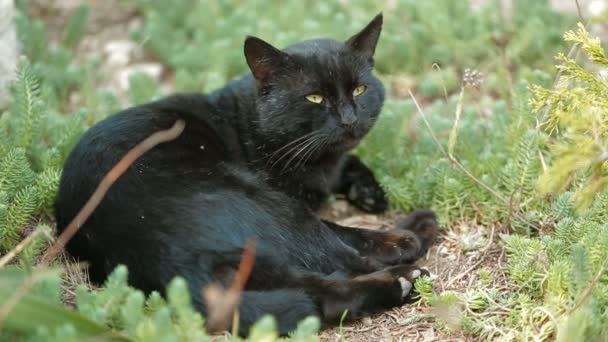 Old black cat resting on a green grass in the rays of sun. Old black cat.