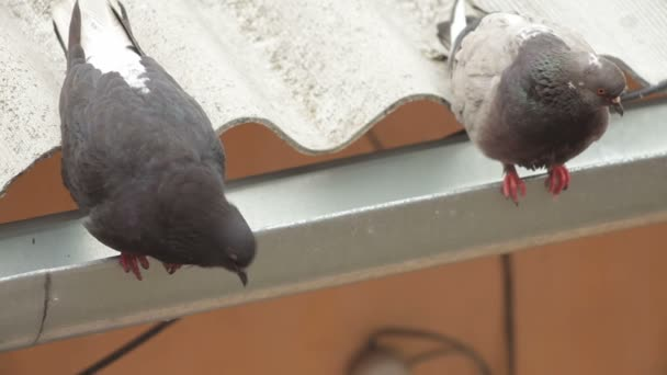 Two gray pigeons sitting on a roof. Gray pigeons.