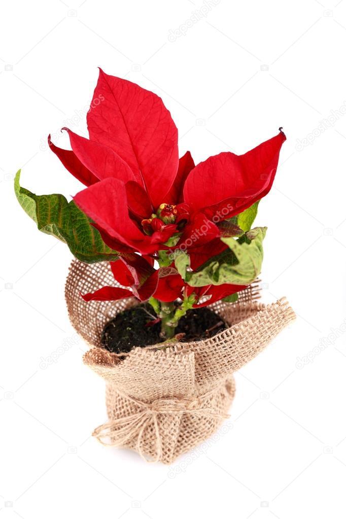 Weihnachtsstern in Tasche — Stockfoto © Andrelix #37816967