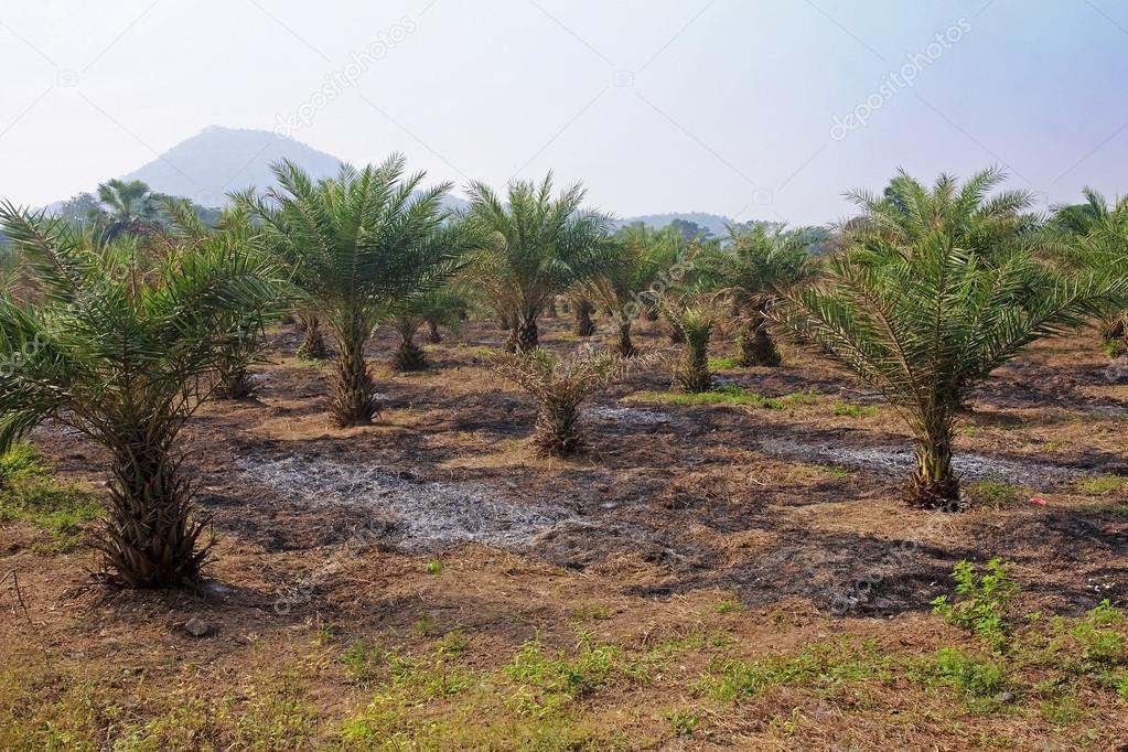 Field cultivation of tropical palm trees