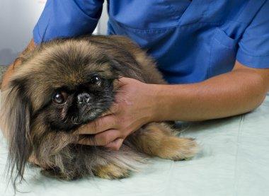 veterinarian doctor making a checkup of a pekingese