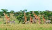 Fotografia selvaggi giraffe nella savana