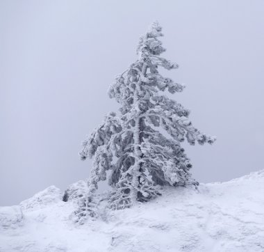 Pine tree covered by snow