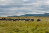 Fotografie wildebeest stéhování