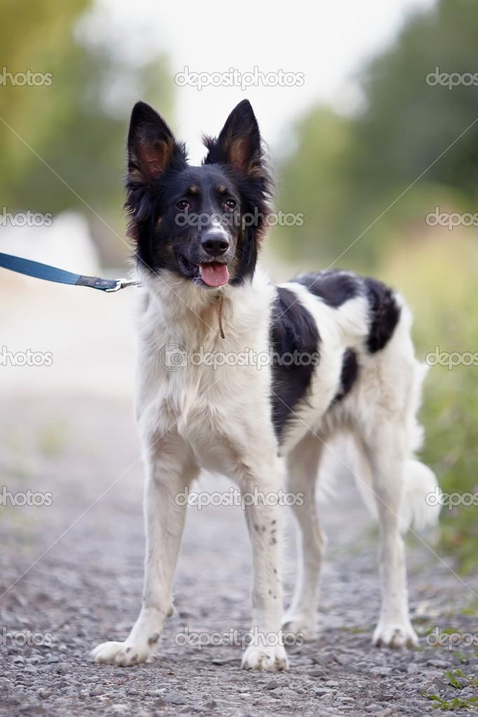 Schwarz Weiße Hund Stockfoto Azaliya 30769645