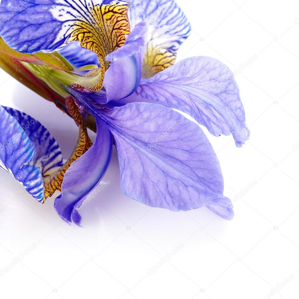 Petals of a flower of an iris stock photo azaliya 35071621 iris flower blue iris petals of a flower of an iris flower in dew drops flower petals in dew drops photo by azaliya izmirmasajfo