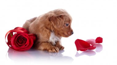 Puppy with a red rose and petals.