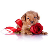 Fotografie Puppy with a red bow and a rose.