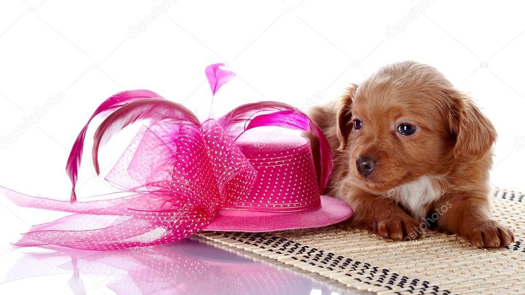 67589a3e8540b Cachorro y un sombrero con plumas. cachorro con un sombrero sobre una  alfombra. cachorro de un perrito decorativo. Perros decorativos. cachorro de  la ...