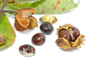 Wild Chestnut or Horse Chestnut
