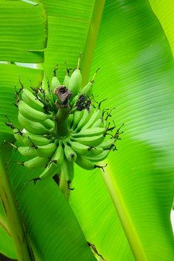 Banana tree