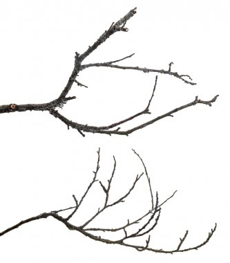 dead tree branches isolated on white background