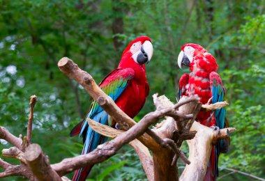 Red parrot birds