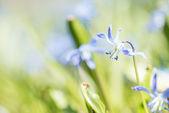 modrá jarní květiny