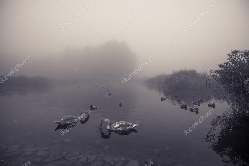 mated pair of swans on foggy misty lake