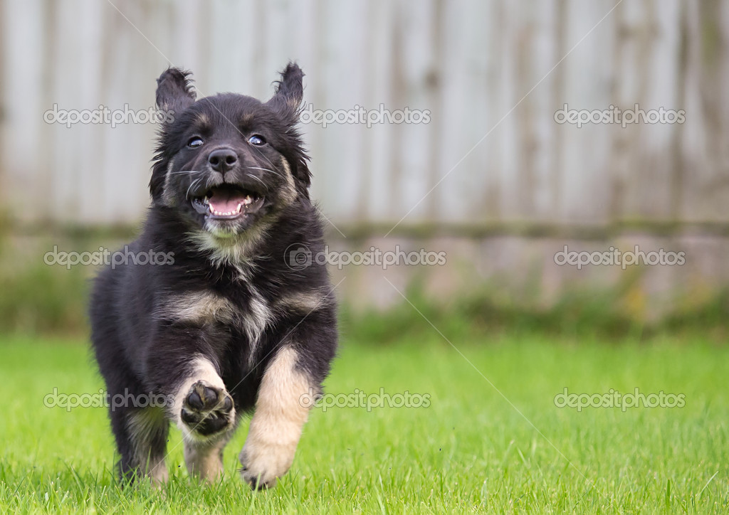Gollie Puppies
