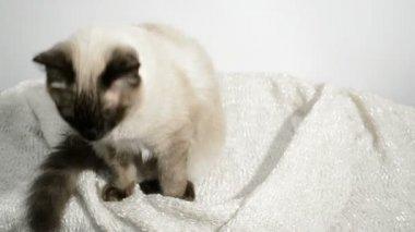 Kot Syjamski Ziewanie Wideo Stockowe Kovalvs 91068218