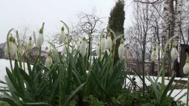 Snowdrops in the park