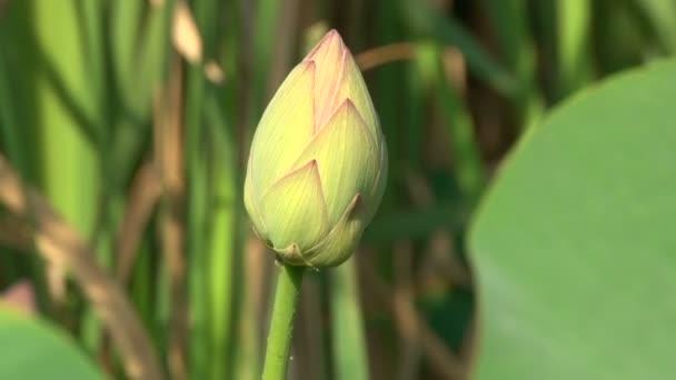 bud růžové lilie