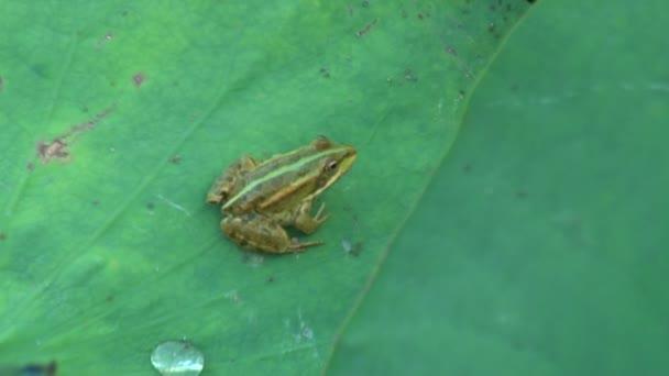 Frosch auf Blatt