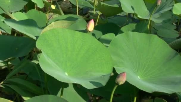 Zöld levelei és rózsaszín liliom