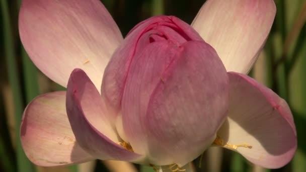 Rózsaszín liliom Bud