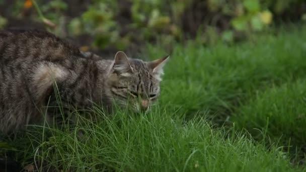 macska eszik fű