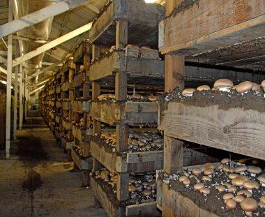 Mushroom Farm.