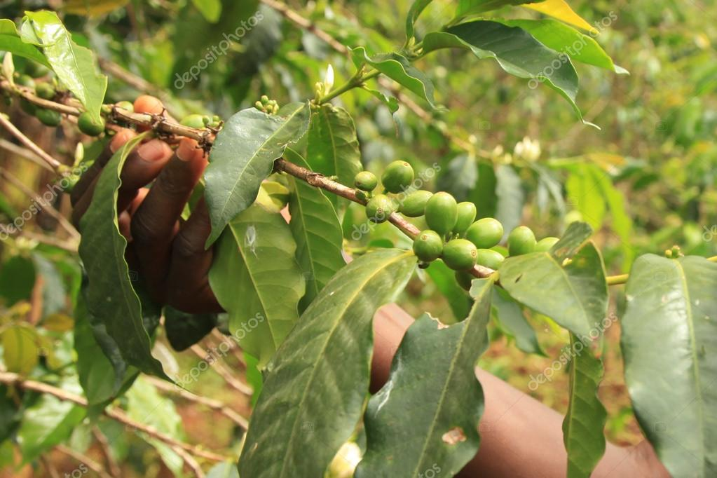 Coffee Plant - Uganda, Africa