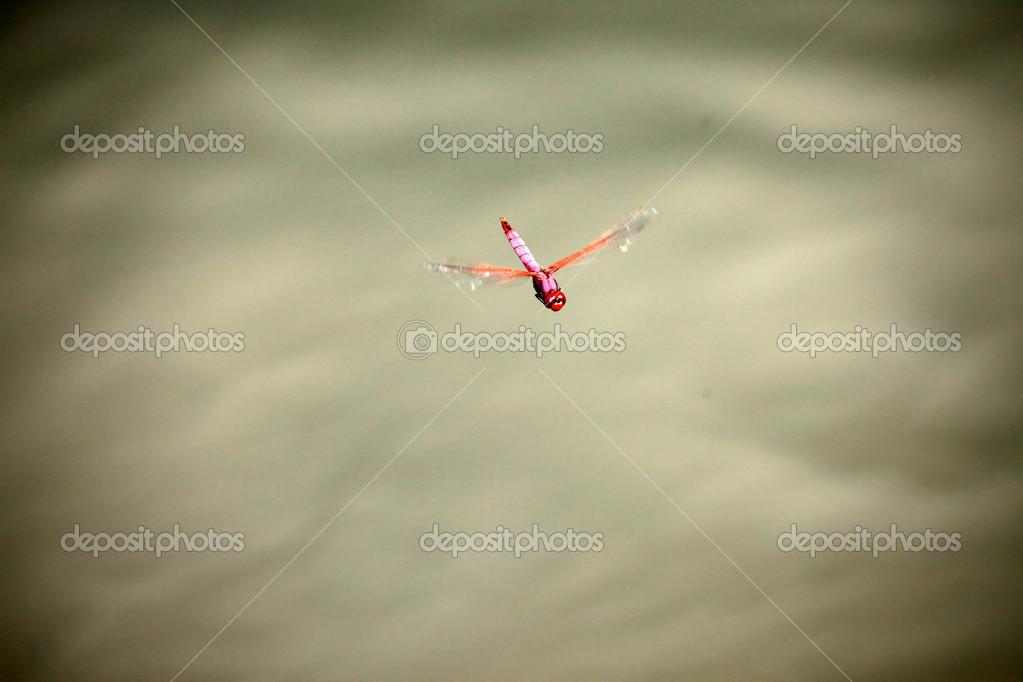 Dragonfly - Uganda, Africa