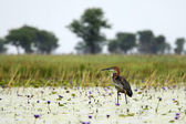 Photo Goliath Heron - Lake Opeta - Uganda, Africa