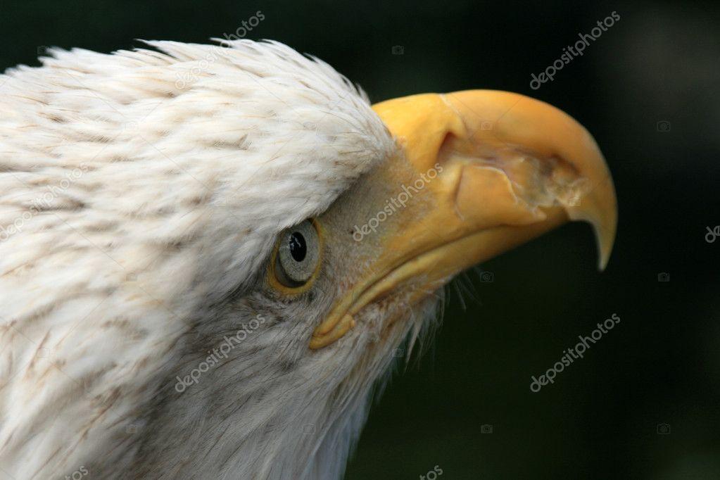 Bald Eagle Alaska Usa Stock Photo Imagex 12898654