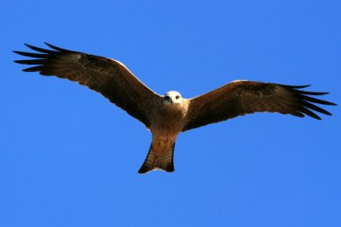 Whistling Kite - Kakadu National Park, Australia