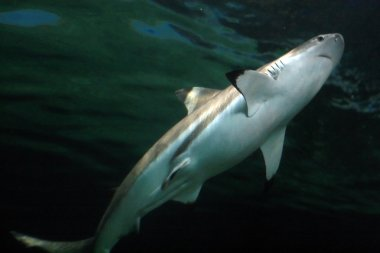 Black Tip Shark, Canada