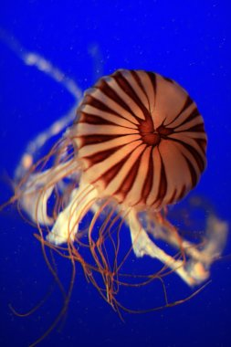 Jelly Fish, Vancouver, Canada