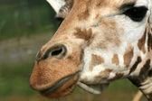 žirafa - vancouver zoo, Kanada