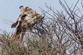 zsiráf étkezési - etosha safari park-Namíbia