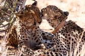 Gepard, lízání v Sossusvlei, Namibie