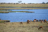 Fotografie Chobe řeka, botswana, Afrika