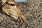 Fotografie žirafa jíst - safari park etosha v Namibii