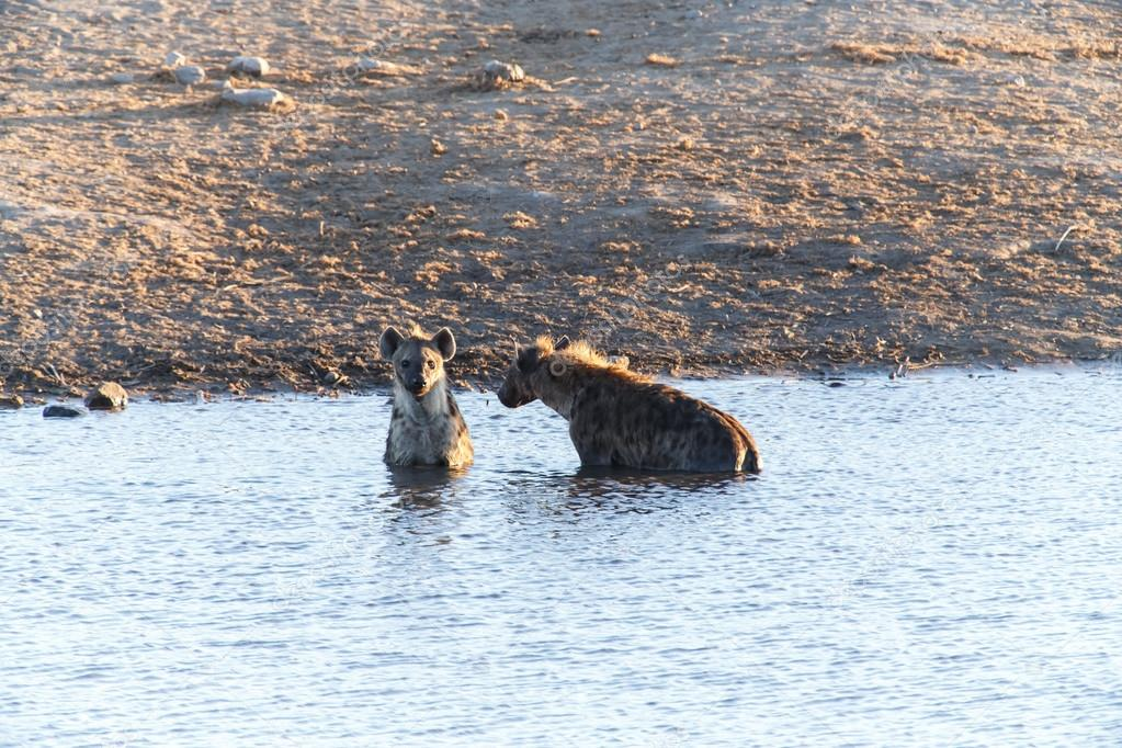 Hyenas at Waterhole