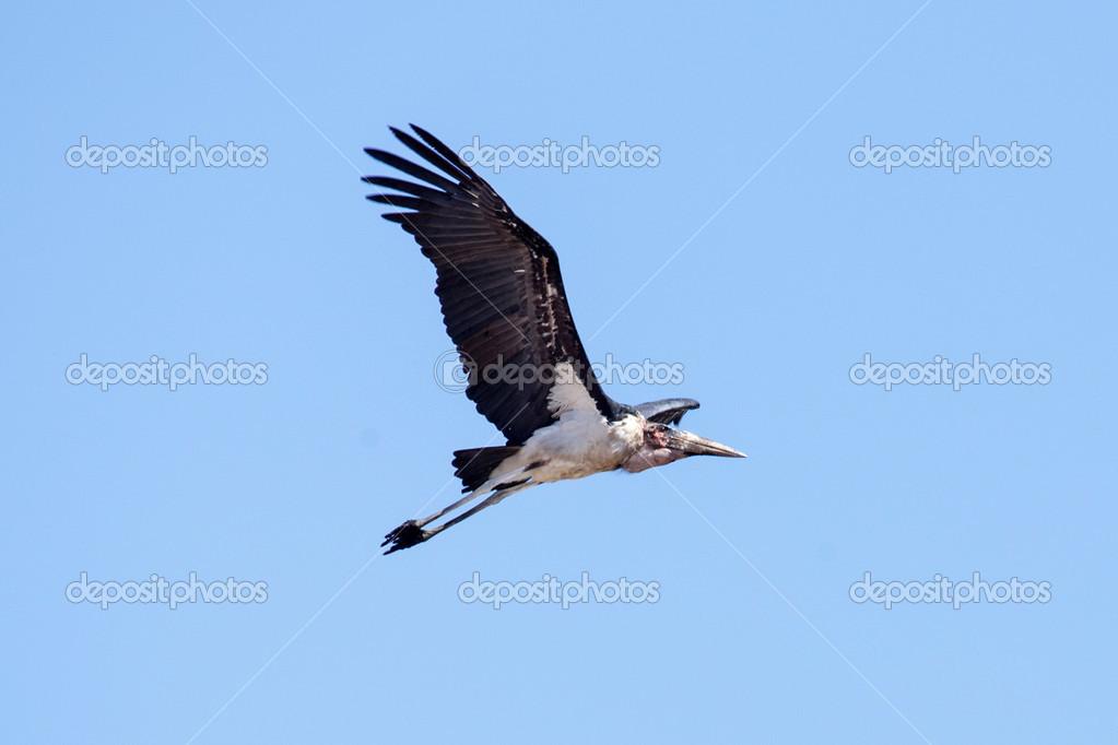 maribou cegonha voando stock photo imagex 48594835