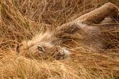 Fotografie Lion at Okavango Delta