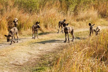Wild Dogs at Okavango Delta
